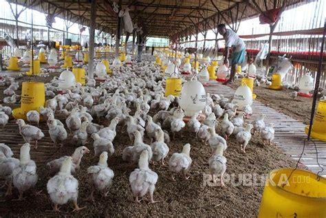 Pabrik Jagung Pakan Ternak industri belum impor bahan pakan ternak republika