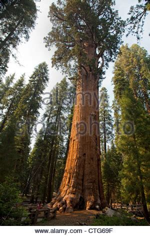 general sherman tree sequoia national park in california general sherman sequoia tree the largest tree of the