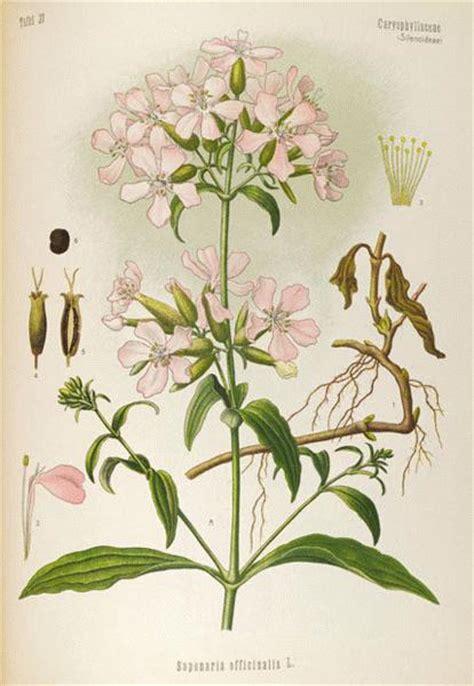 Whitish Pink a modern herbal soapwort