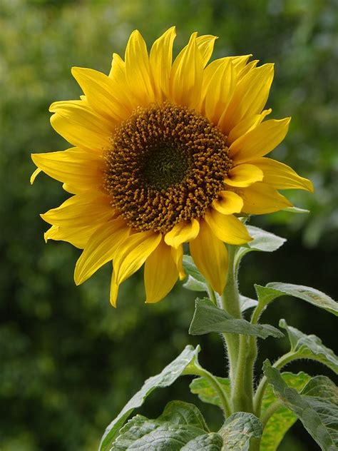 free flower images and stock photos free stock photo in high resolution sun flower 3 flowers