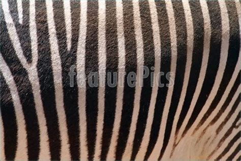 what color is a zebra s skin wildlife zebra skin texture stock picture i1108218 at