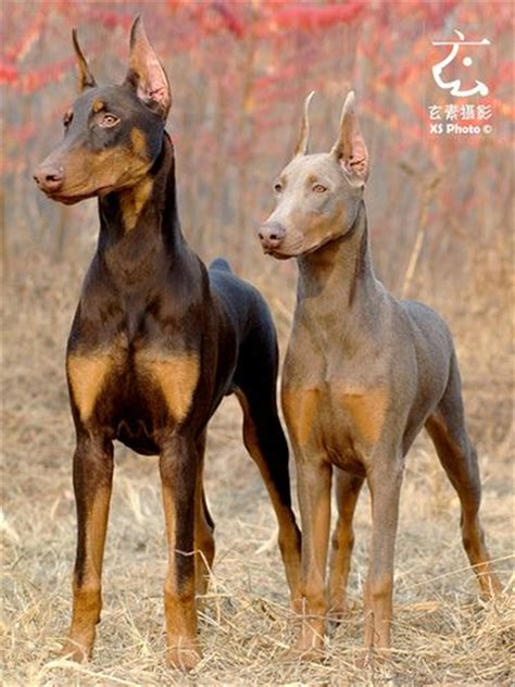doberman colors 25 best ideas about black doberman on