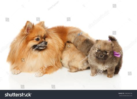 what to feed a 2 month puppy pomeranian spitz feeding two months puppies studio shoot isolated stock