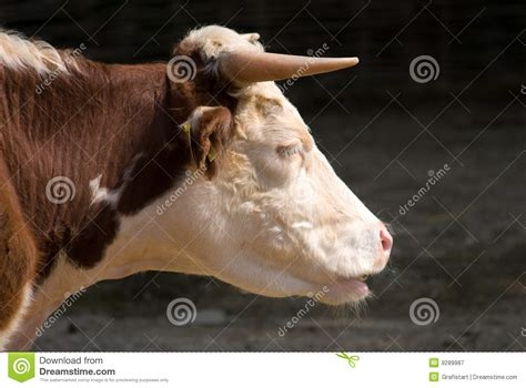 scow head losing face what cows dogs and neanderthals can tell