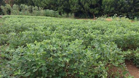 Bibit Tin Padang cara budidaya kacang tanah organik alam tani