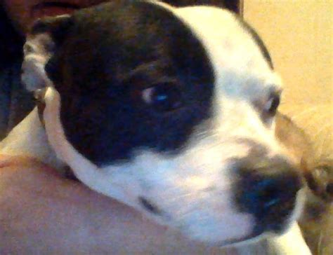 Door For Dog A F R A News Small Staffy Male Approx 2 Years Of Age