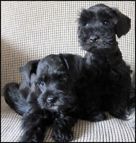 bridge puppies miniature schnauzer breeders canada s guide to dogs miniature schnauzer