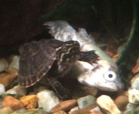 feed  pet turtle  feed