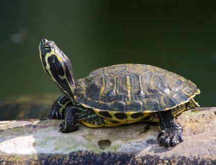 feeding  red eared slider turtle   turtles eat
