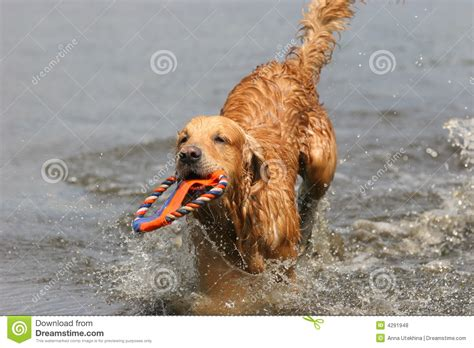 golden retriever in water golden retriever in water royalty free stock photos image 4291948