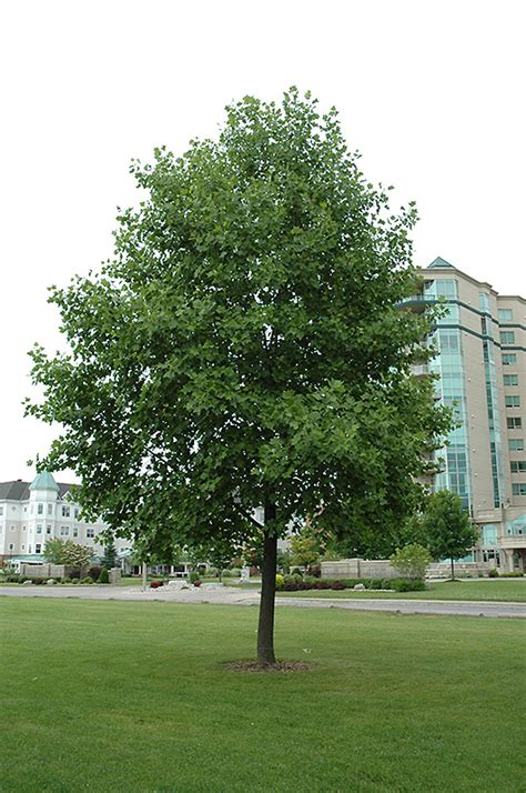 Fruit Trees Wisconsin - tuliptree liriodendron tulipifera in milwaukee brookfield waukesha new berlin pewaukee