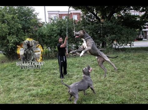 rottweiler exercise build pit bull vs rottweiler chained bully gets nose to nose with rottweiler