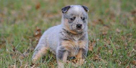 acd puppies australian cattle information characteristics facts names