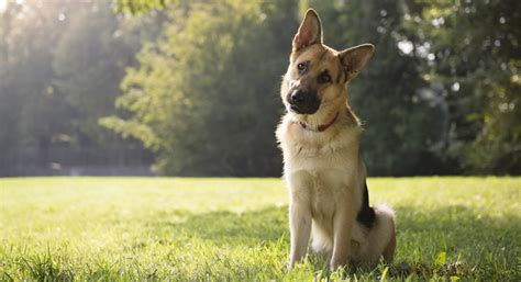 german shepherd shedding the guide to
