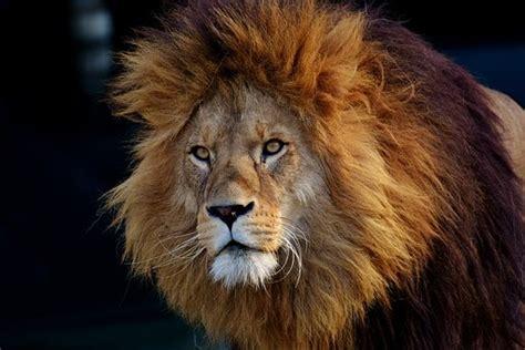 imágenes de leones para whatsapp lion images 183 pixabay 183 t 233 l 233 chargez des images gratuites