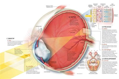 the eye is the l of the eye anatomy ophthalmology