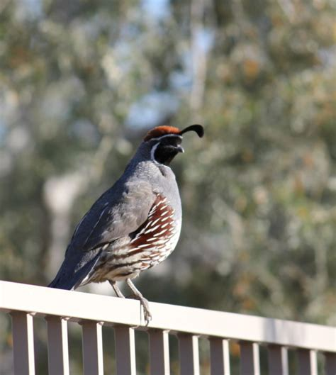 Backyard Quail by Backyard Quail