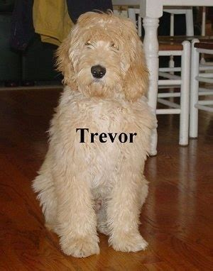 doodle labs labradoodle breed information and pictures