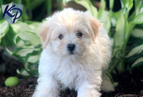 havanese yorkie mix dogs tyson havanese puppy for sale in pa breeds picture