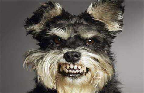 angry black  white hairy doggy hd wallpapers