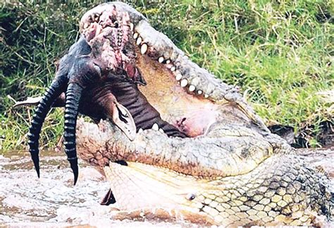 film ular dan buaya skbt buaya terbesar di tangkap