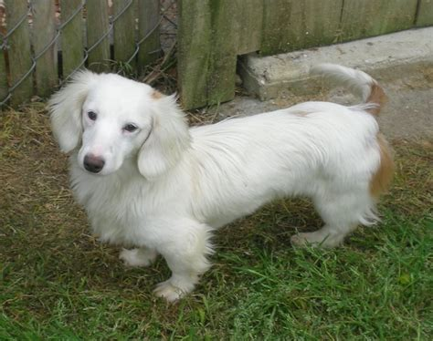 white dachshund puppies white dachshund dachshunds dachshund