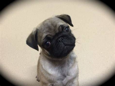 pug puppies for sale plymouth purebred beautiful kc pug puppy plymouth pets4homes