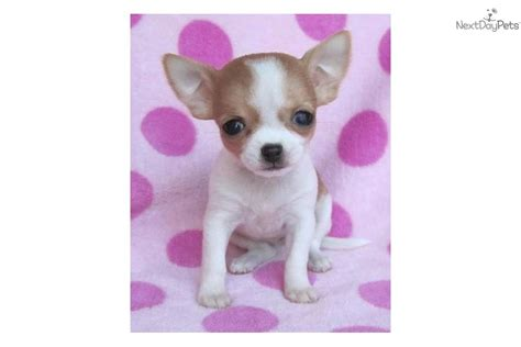 apple chihuahua puppies for sale near me chihuahua puppy for sale near joplin missouri 66fea092 5a51