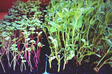 jane says you can grow your own microgreens takepart http www takepart com article 2014 02
