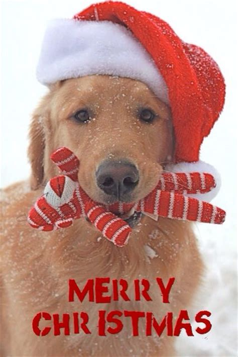 christmas  animals images  pinterest christmas animals christmas time  doggies