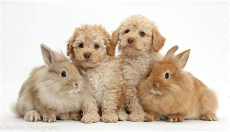 puppies and bunnies pets labradoodles and fluffy bunnies photo wp36254