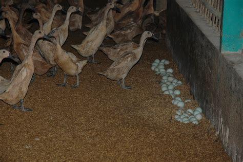 Bibit Bebek Peking Per Ekor cara beternak itik bebek secara intensif bebek lung