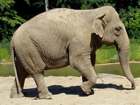 animals that start with the letter e 3347 asiatisk elefant asian elephant elephas maximus 1077