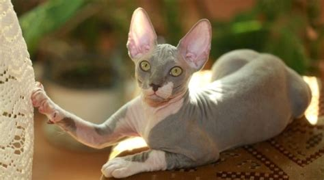 Why Does Cat Shed So Much by 1000 Images About Understanding Your Pets On
