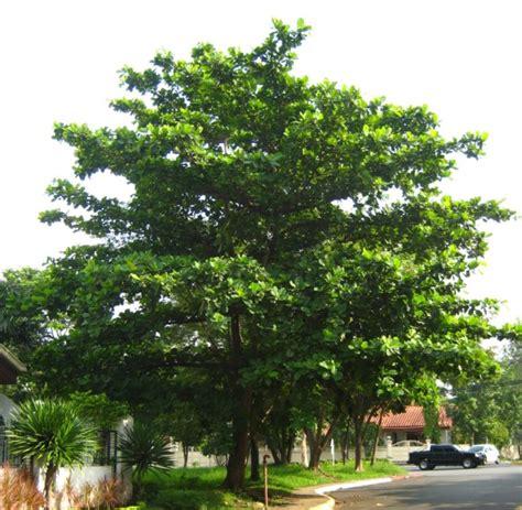 image of tree talisay