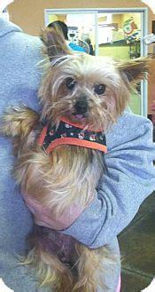 yorkie rescue kansas city joey adopted kansas city mo yorkie terrier