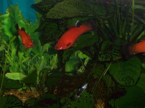 freshwater fish freshwater aquarium fish quiz freshwater aquarium fish