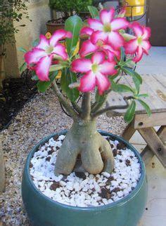 Benih Bunga Biru Adenium 32 rosa do deserto adenium obesum on desert ems and impalas