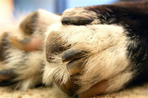 chewing paws remedy how to trim your s paws