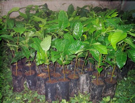 Bibit Pohon Mahoni cara budidaya pohon mahoni bibitbunga