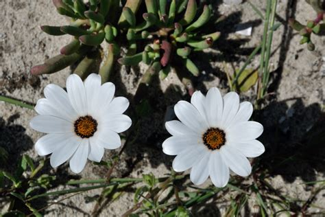 i fiori deserto la fioritura deserto in sud africa tour da lamberts
