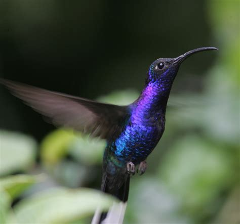 Sa 2time fact du jour hummingbirds