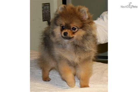 pomeranians for sale in tennessee pomeranian for sale for 1 500 near nashville tennessee 9a01ed66 3ef1