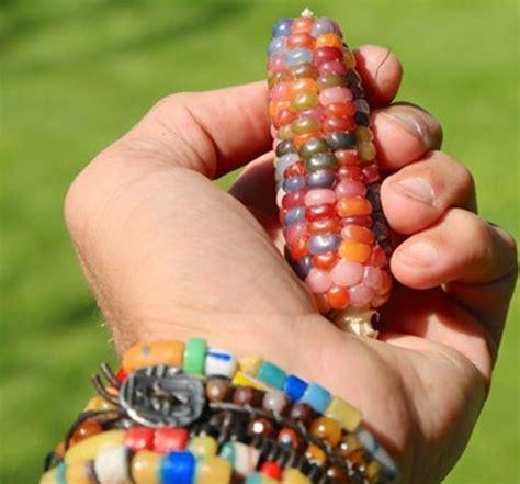 10 biji benih jagung pelangi rainbow glass gem corn bibit bunga benih jagung permata glass gem corn lazada