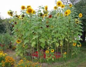 Backyard Rustic Wedding Ideas Garden With Tall Sunflower Plants Growing Sunflower
