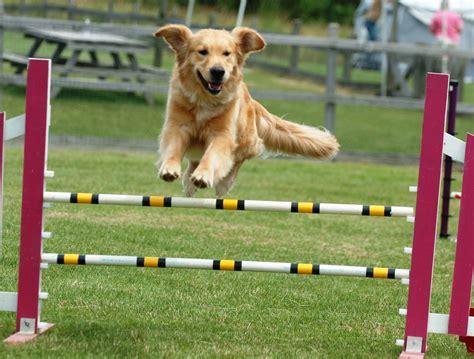 agility course for dogs basic agility canine focus