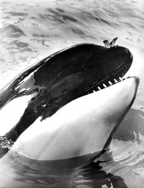 no ponto cego da cabecinha da baleia!   Baleia assassina