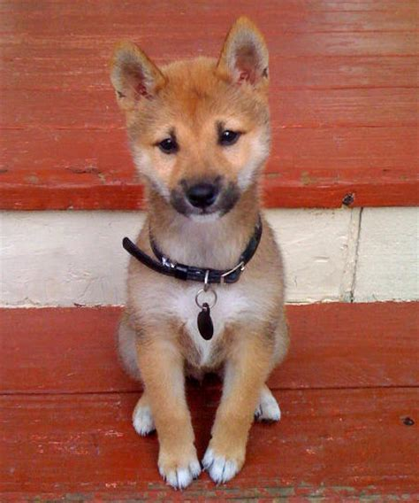 cheap shiba inu puppies for sale hisa the shiba inu puppies daily puppy