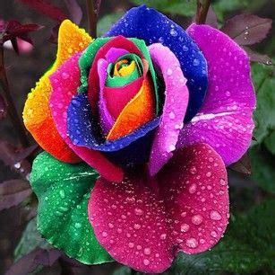 imágenes de rosas raras flores rarissimas fotos pesquisa google bellas flowes