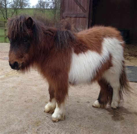 Minie Setelan by Ollie Miniature Shetland For Sale Now Sold
